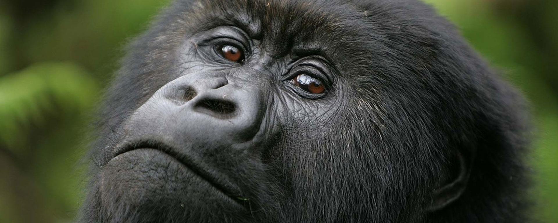 Gorilla wearing makeup