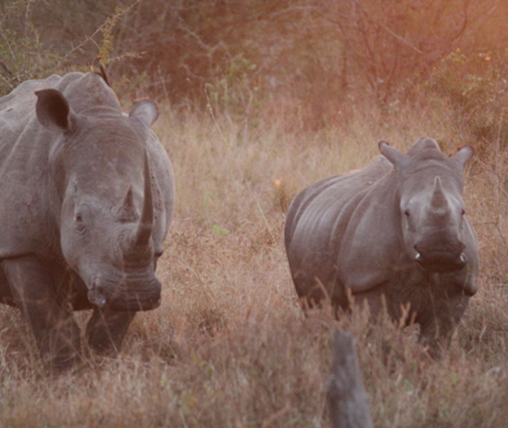 A rhino and her calf seen while on safari in the Sabi Sands