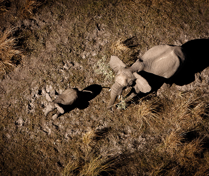 An elephant mother and calf shot from above in a helicopter.