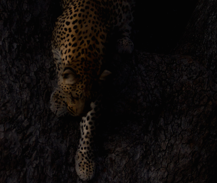 A leopard shot in low light.