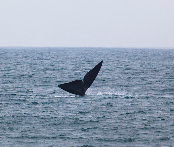 A protruding tail means the whale is picking up speed to breach.