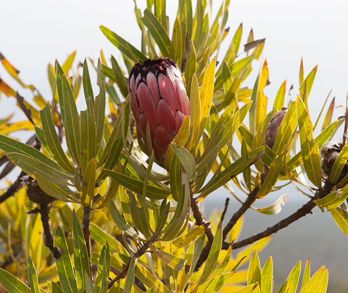 ...and South Africa's national flower: the unique & unmistakable protea.