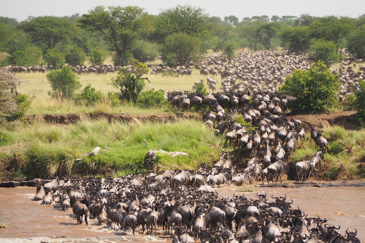 Wildebeest migration river crossing in Tanzania occur between July and October