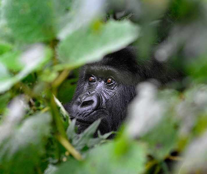 Spend up to an hour with a group of endangered mountain gorillas on your gorilla trek in Uganda or Rwanda.