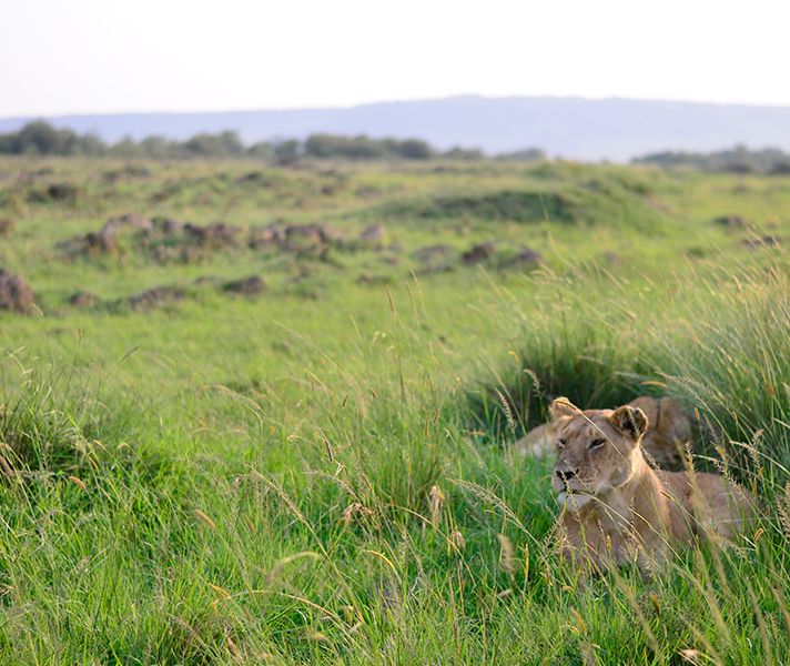 During the rainy or green season, plentiful grazing for antelope means plentiful hunting for the Mara's lionesses.