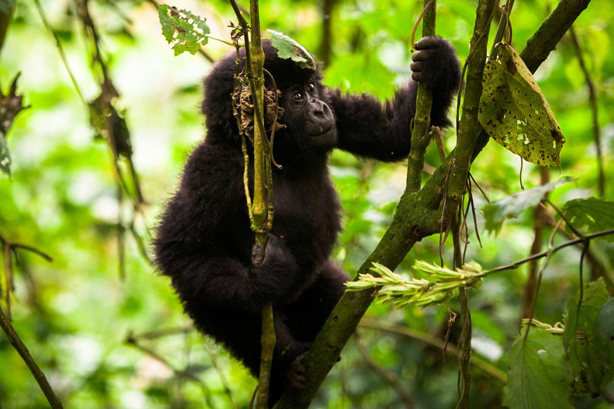Seeing baby gorillas while trekking in Uganda