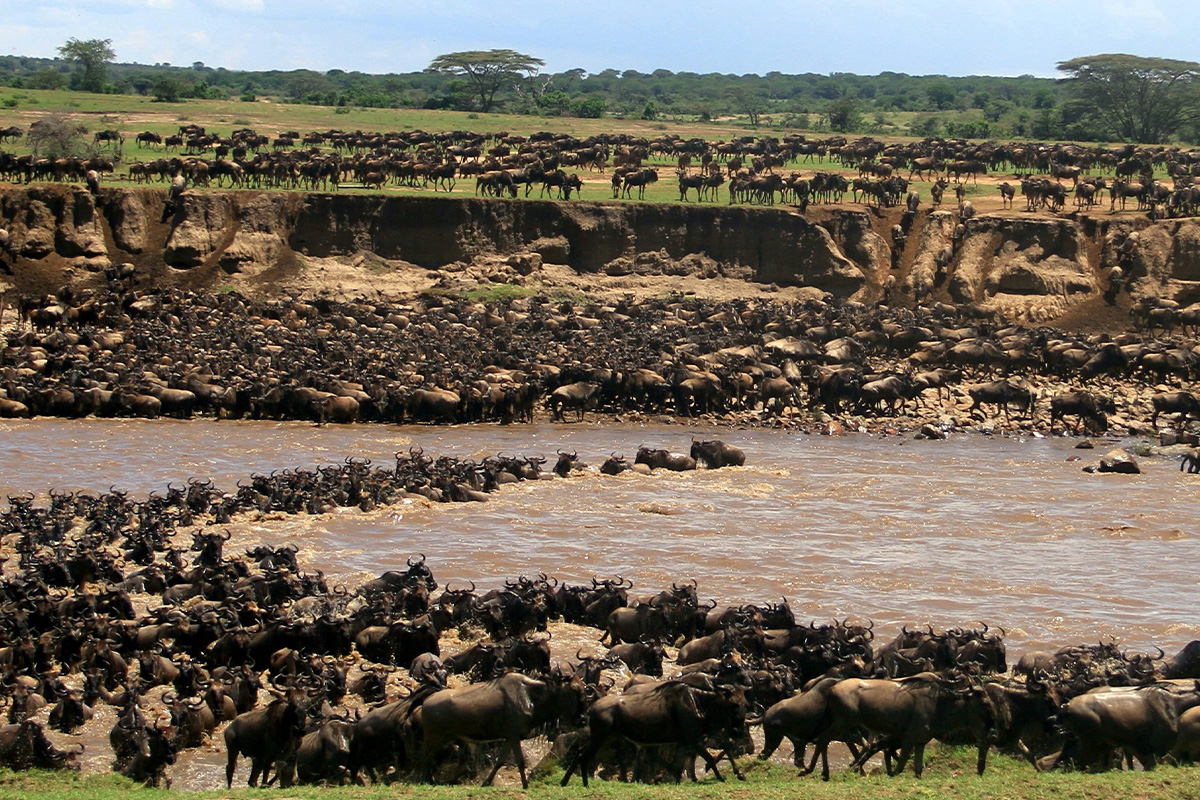 Serengeti Wildebeest Migration in the Mara Crater, East Africa