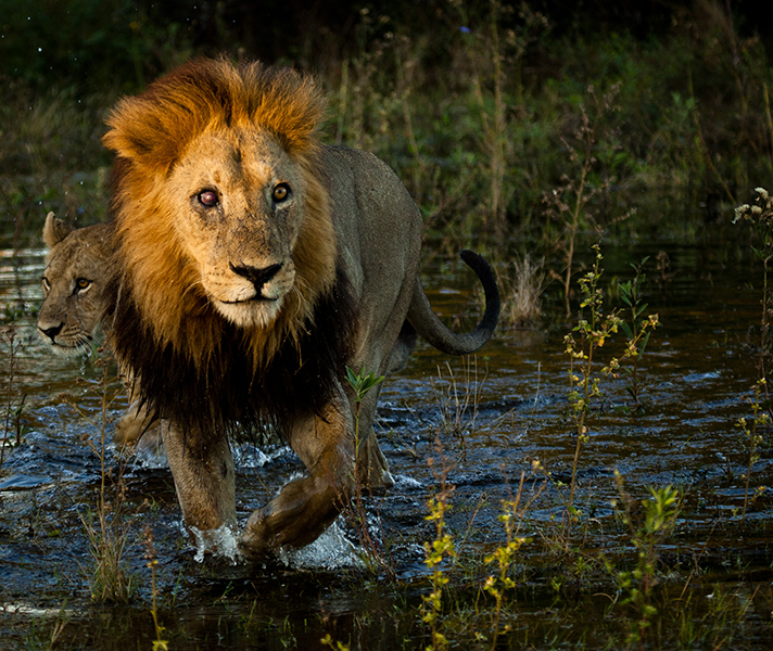 Waiting for the right moment can give you a 'magic' shot! This male lion was perfectly lit up in the rising sun as he crossed a channel in the Delta.