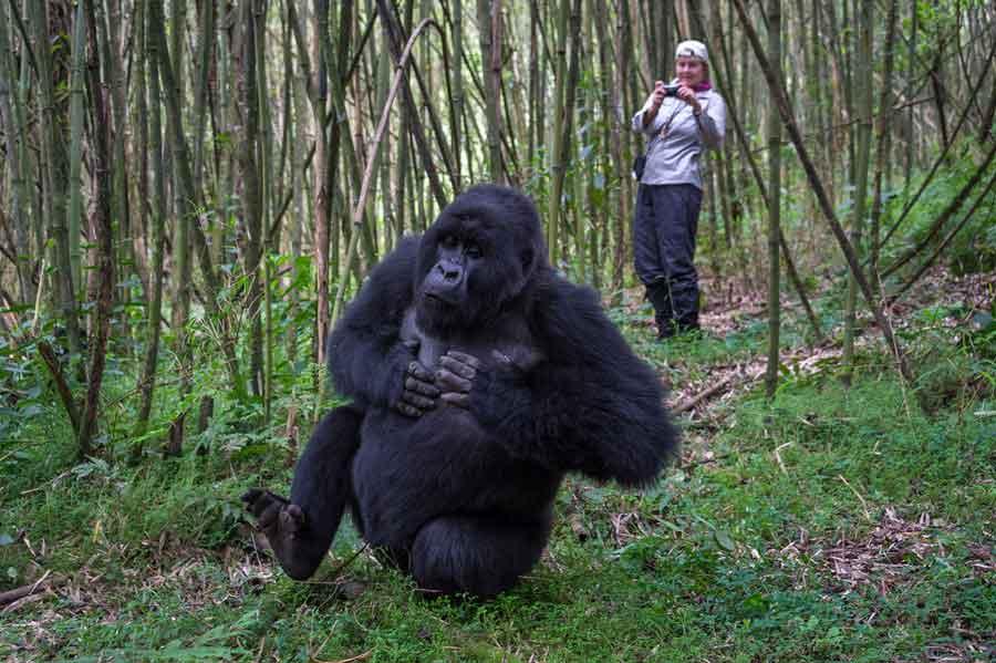 Traveller photographing a gorilla while gorilla trekking in Rwanda