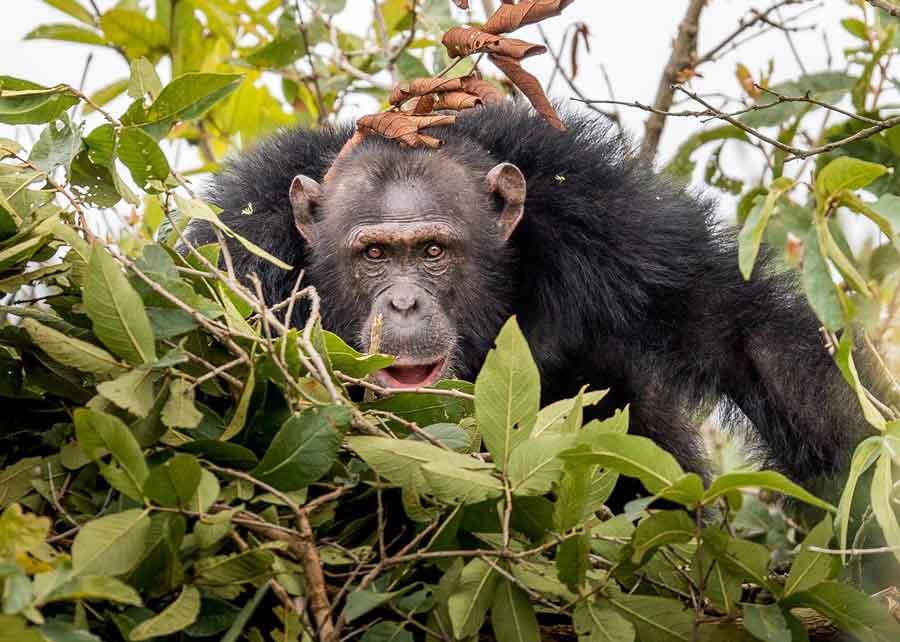 Assist in Habituating Chimpanzees on Rubondo Island, Tanzania