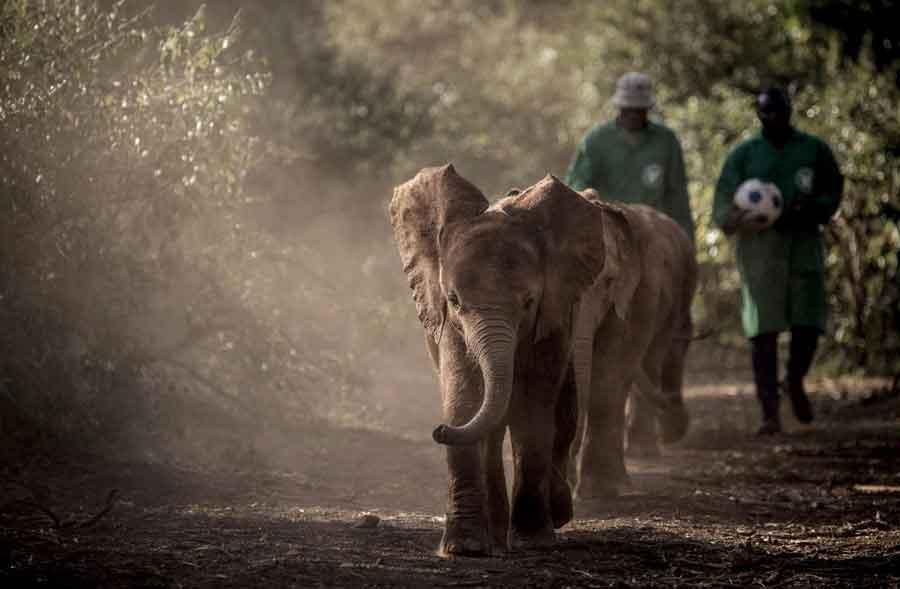 3 orphaned elephants at Sheldrick Wildlife Trust in Kenya