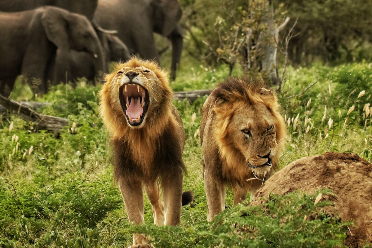 3d9c3fc2 Where to See Lions in Africa (The 6 Best Places to Go)