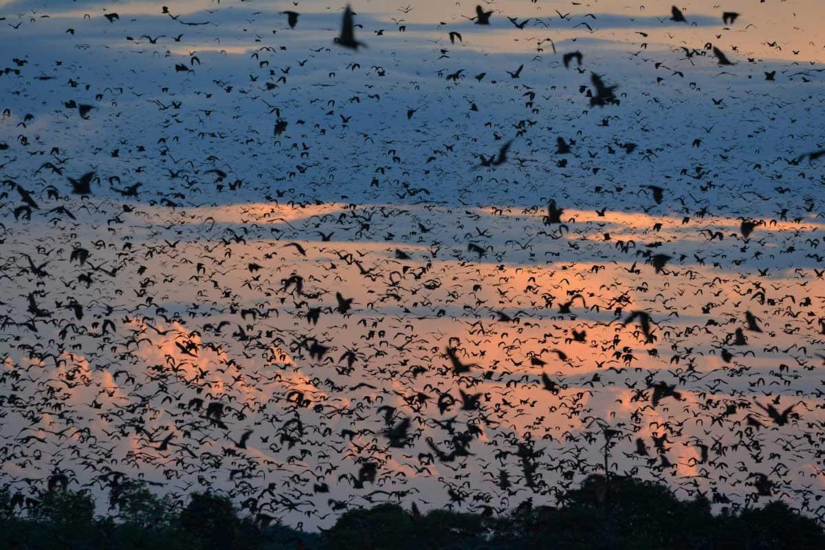 Bats migration during sunset in Kasanka National Park, Zambia