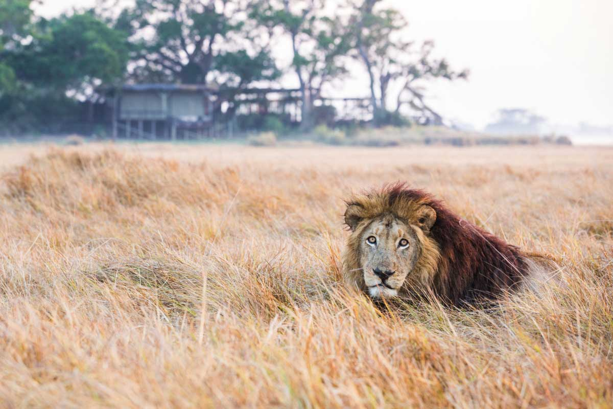 A lion lying in the grass at Shumba Camp in Zambia