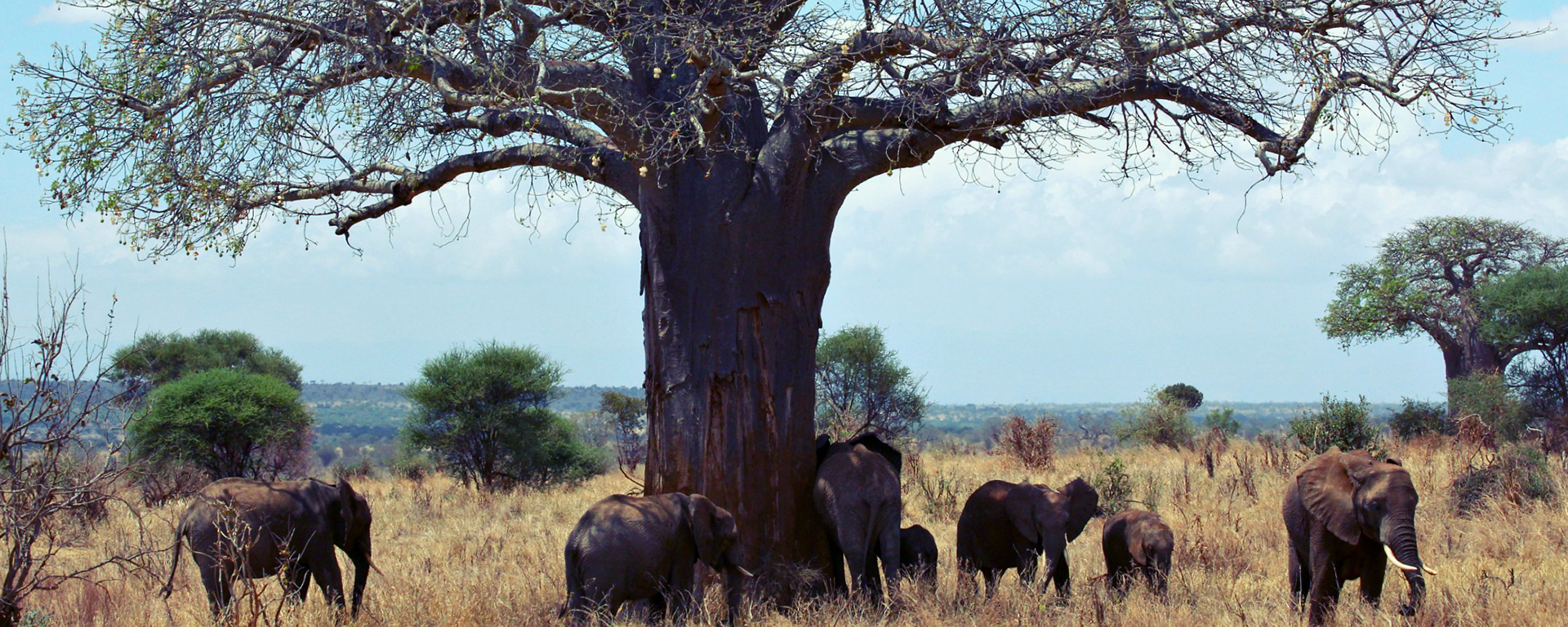 Elephants having a good scratch at this baobab tree (also known as 'The Tree of Life' in Africa) in Tarangire.