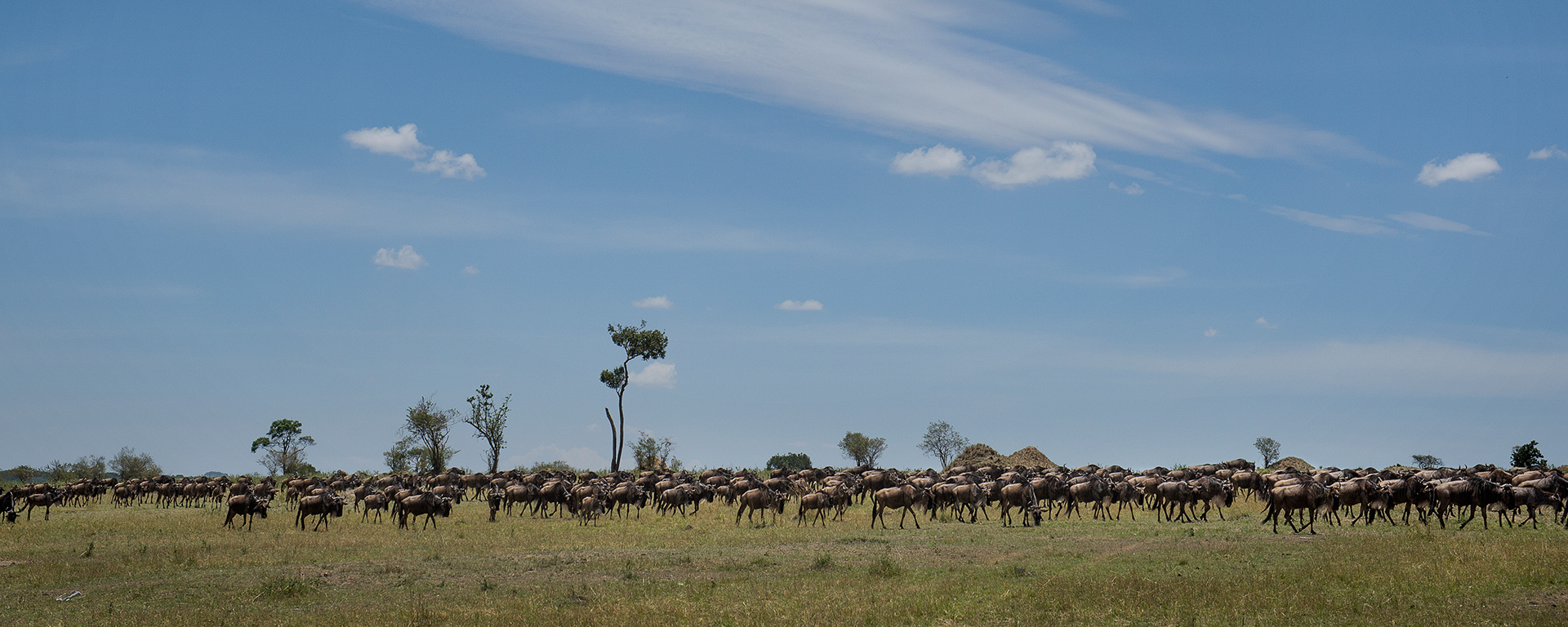 Not much beats the thrill of being in the midst of the Migration on the golden plains of the Serengeti.