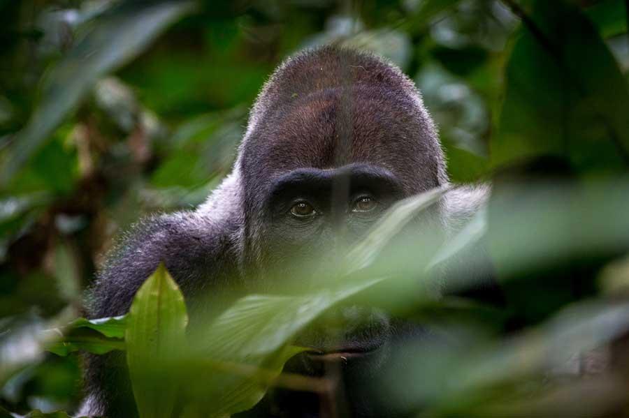 A Gorilla in the Congo gazing while gorilla trekking in the Congo