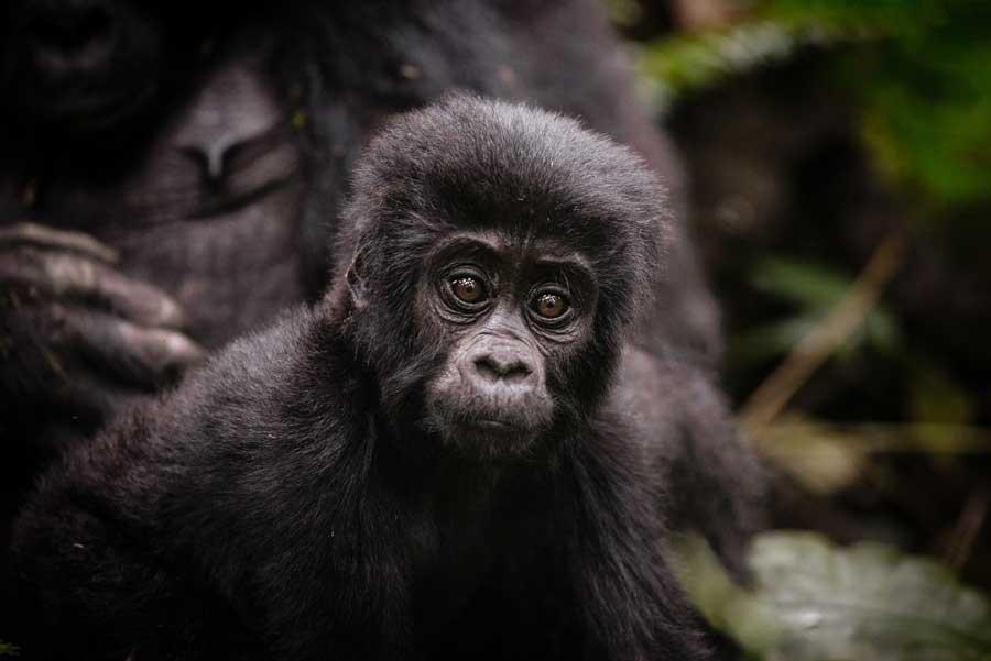 A close up of a baby gorilla while on a gorilla trekking safari in Uganda
