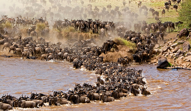 The eventful river crossings are bittersweet moments for the herds.