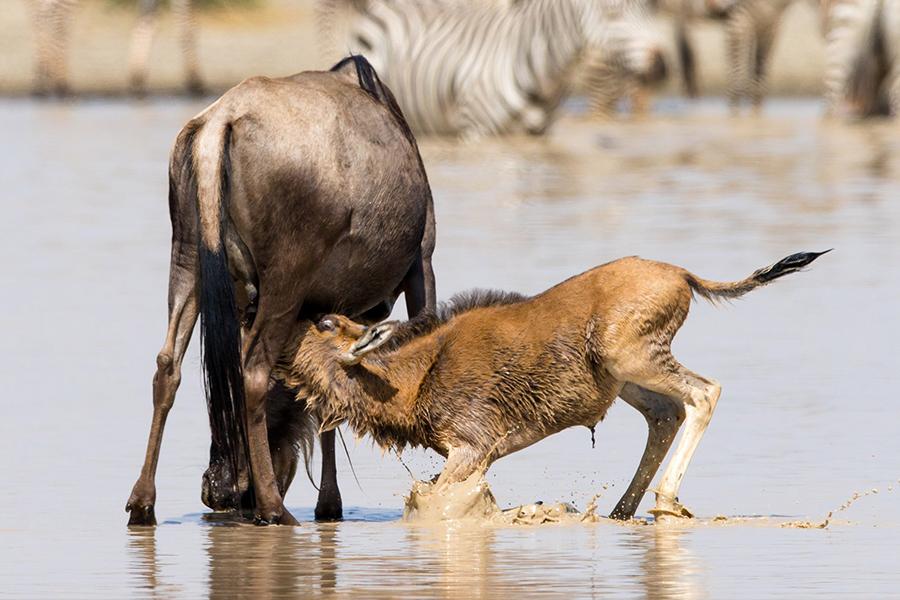 Nasikia_Mobile_Migration_Camp_Wildlife