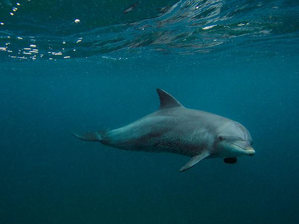 Dolphin swimming underwater off the KwaZulu-Natal coastline | South African Safari | Go2Africa