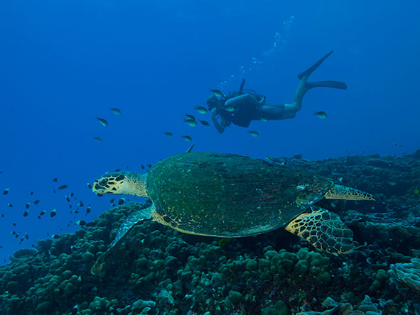 Diver looking at turtle underwater as fish swim by on a reef near the Seychelles | Go2Africa