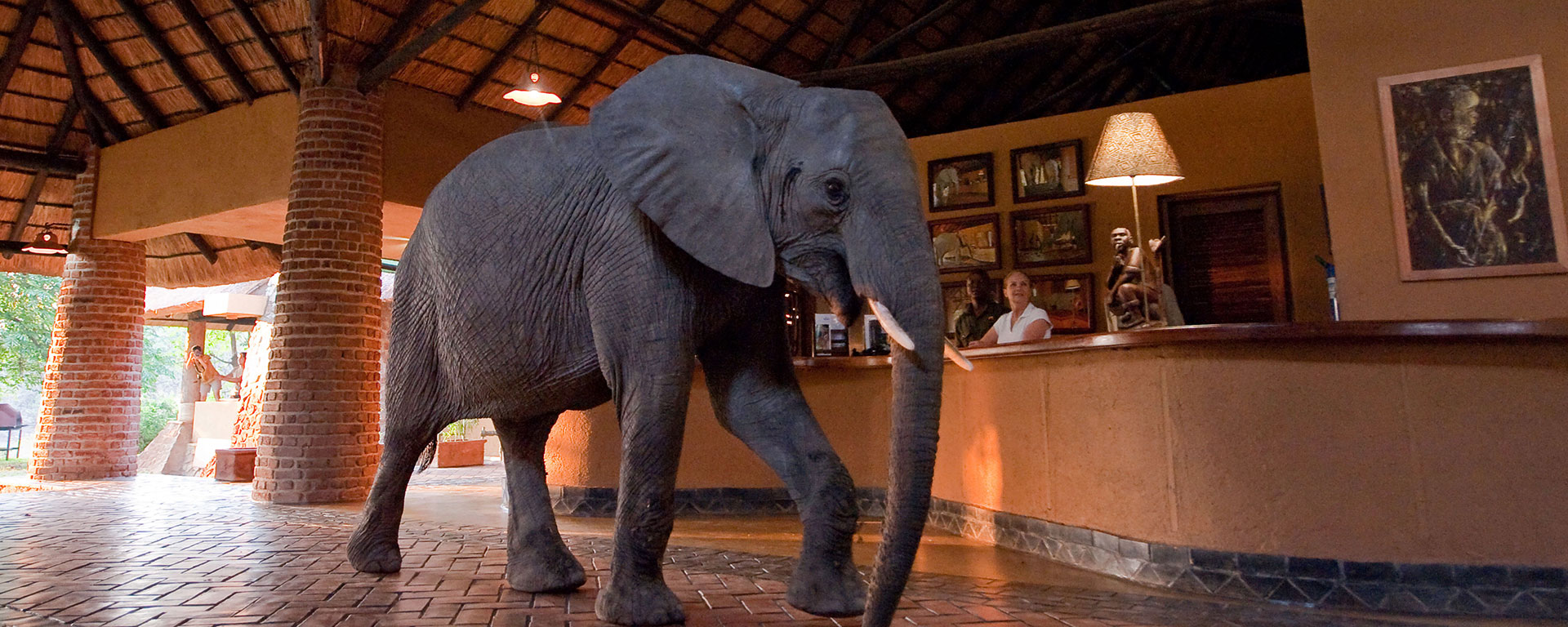 The elephants walk through reception at Mfuwe Lodge on their annual pilgrimage to eat the spring fruit of the wild mango tree.
