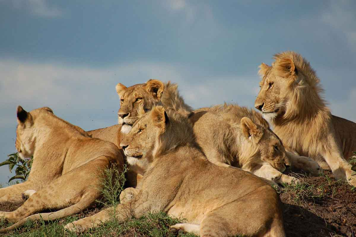 A pride of lions soaking up the sun in Kenya.