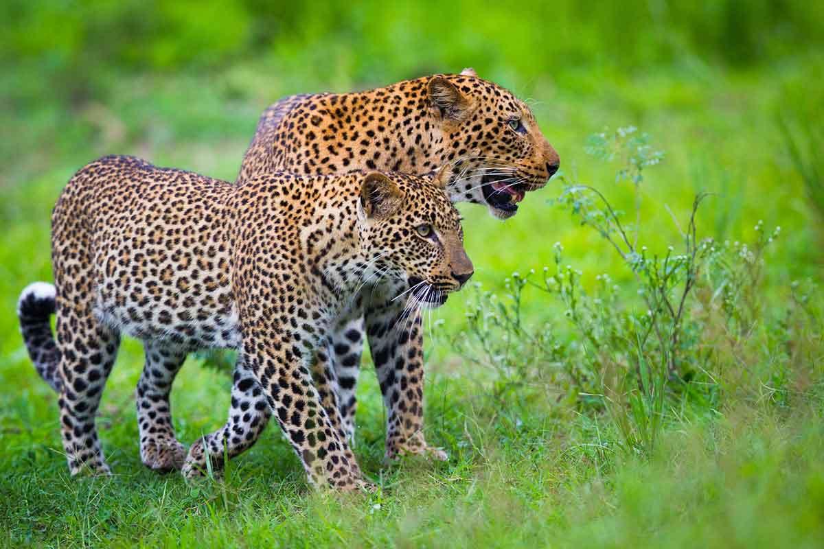 Leopards on the prowl near Kakuli Bush Camp in South Luangwe, Zambia