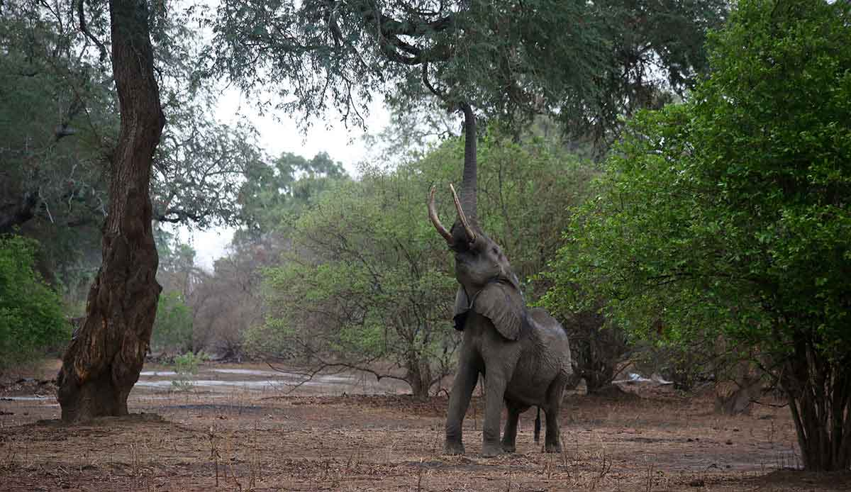 An elephants in Mana Pools, Zimbabwe trying to reach for berries in a tree