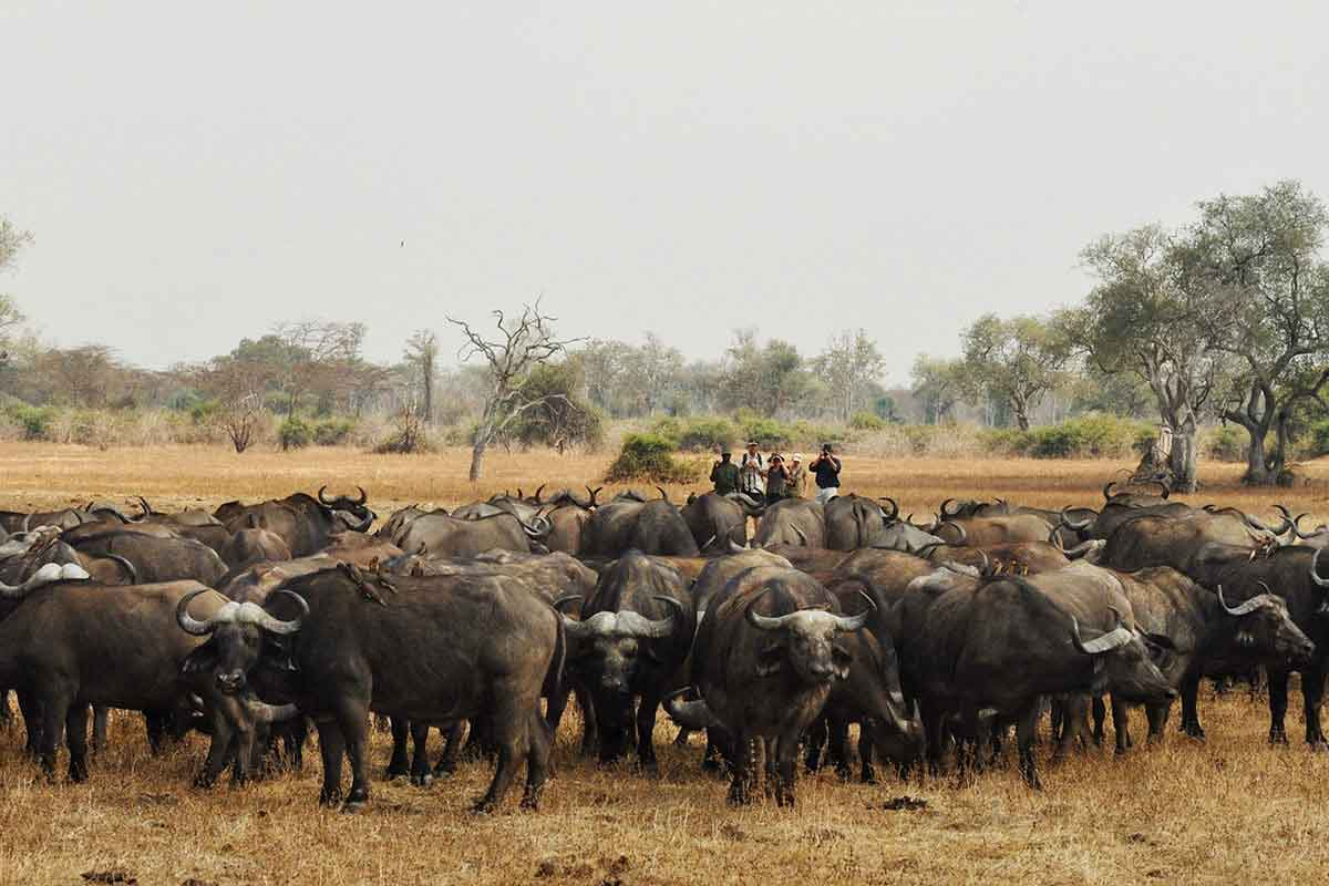 Go2Africa travellers on a walking safari observing a herd of bufallo in South Luangwe, Zambia