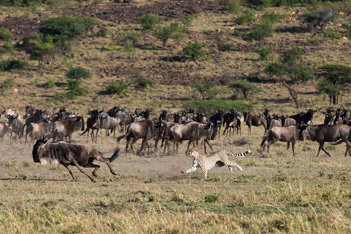 A cheetah chasing Wildebeest in the Masai Mara, Kenya