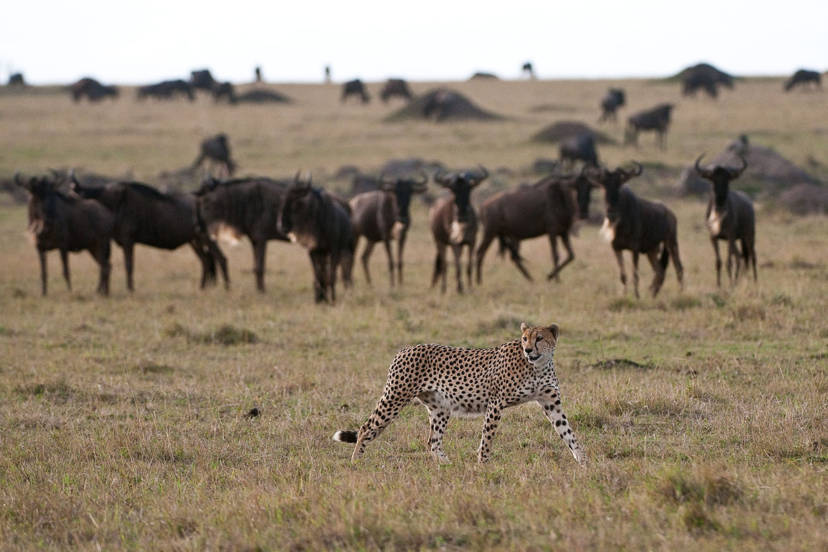 A cheetah stalking Wildebeest in the Masai Mara near Mara Plains Camp