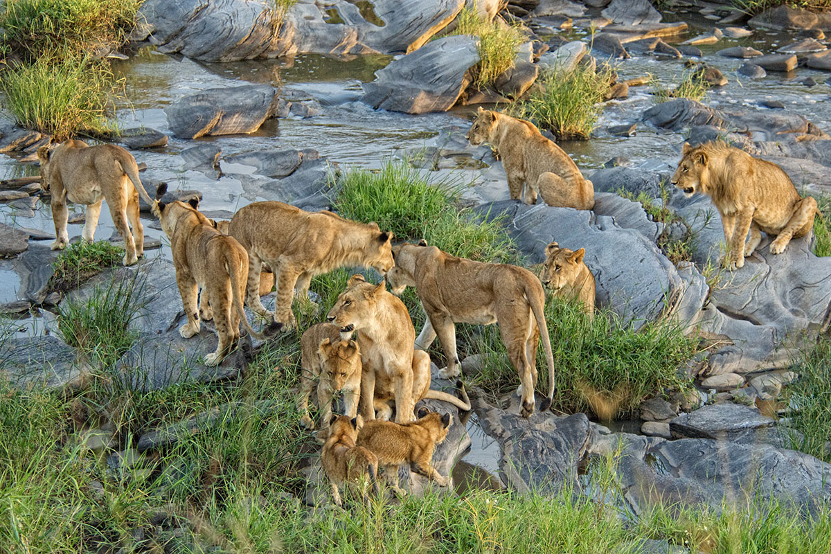 Twelve lions near Rekero on safari in the Masai Mara, Kenya