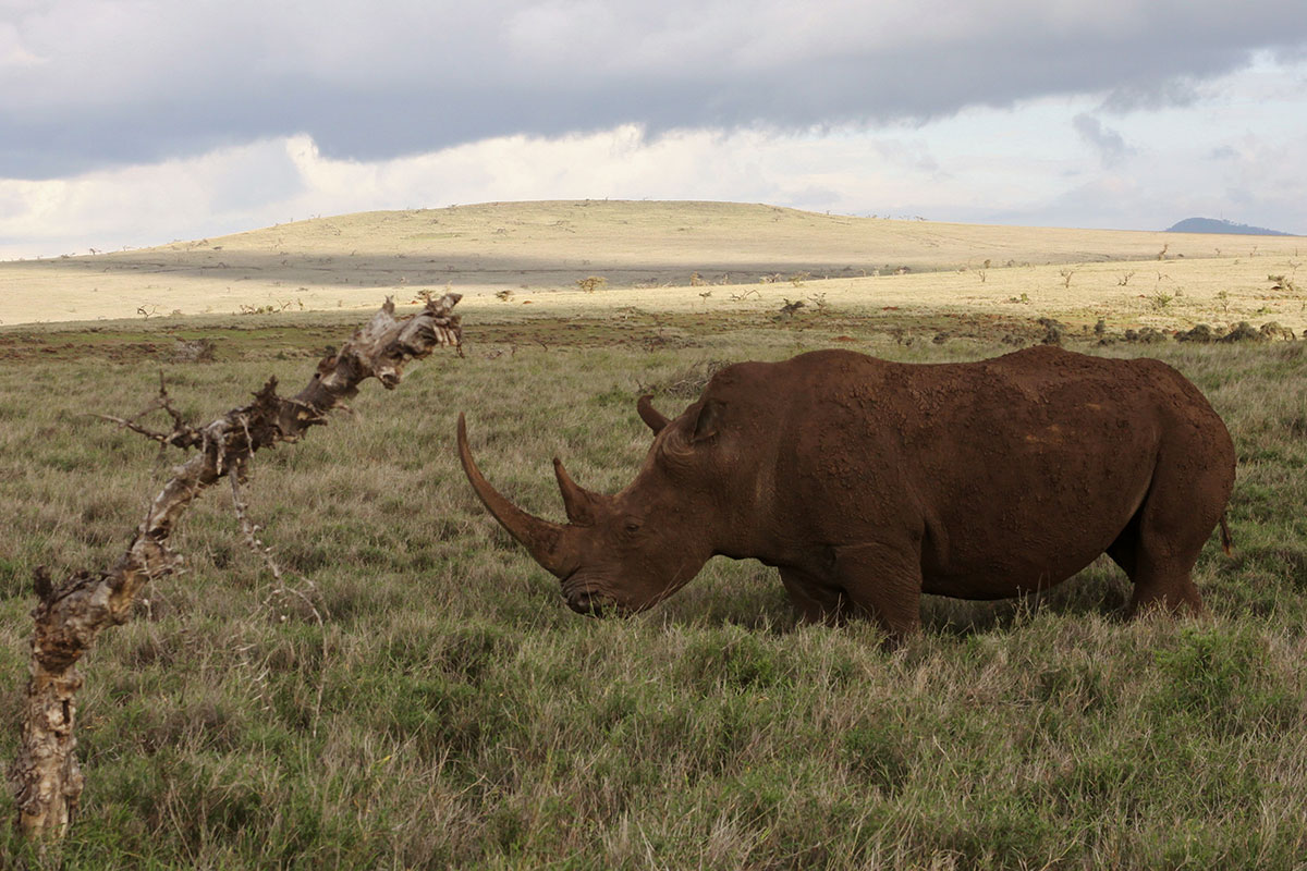 White rhino in Lewa Wildife Conservancy