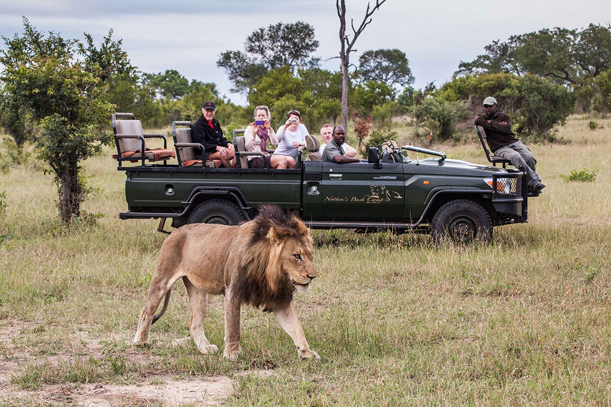 Kruger Safari for all traveller types - lion viewing