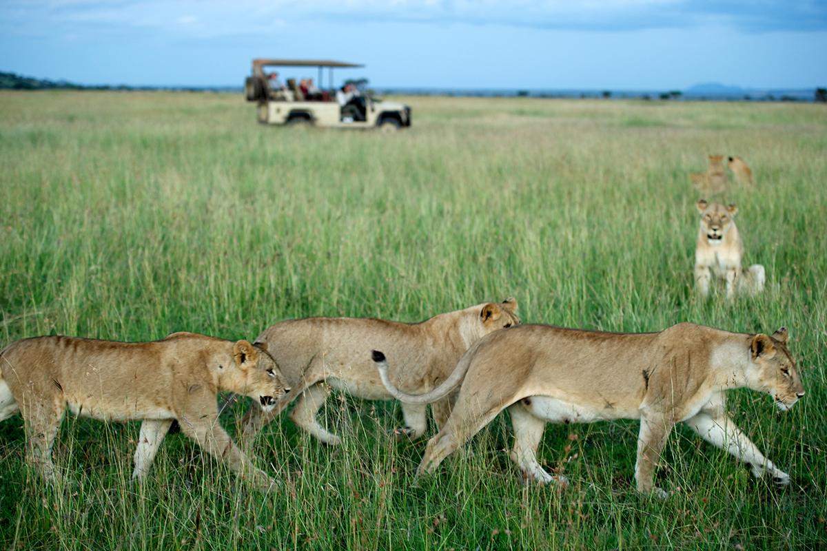 Lions game viewing Serengeti Tanzania