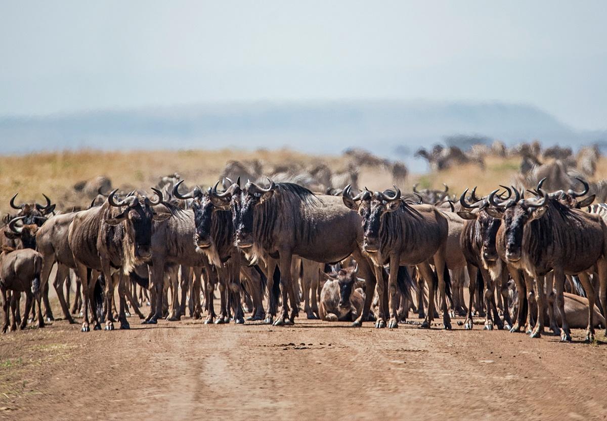 Wildebeest Migration in Serengeti or Masai Mara | African Safari in Tanzania & Kenya | Go2Africa