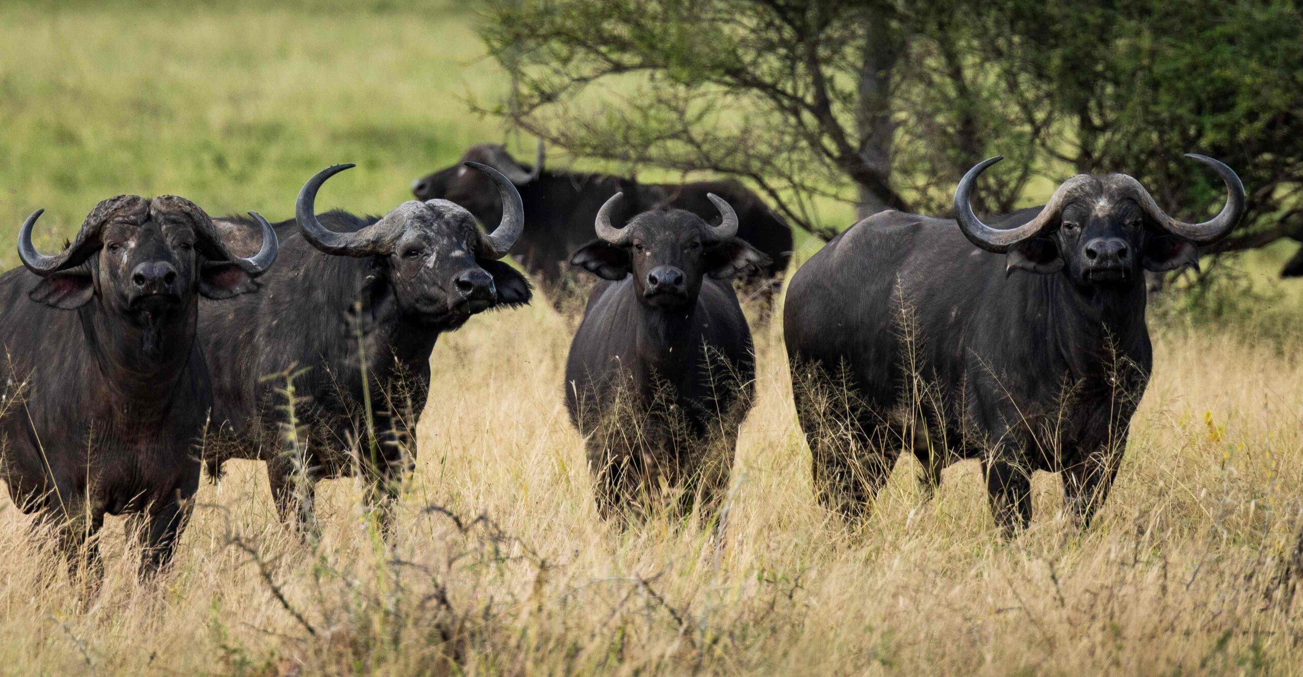 Herd of Buffalo in the Serengeti