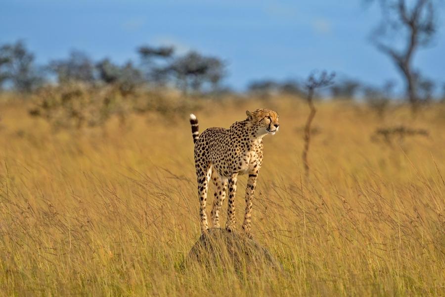 Cheetah in Masai Mara, Kenya | Go2Africa