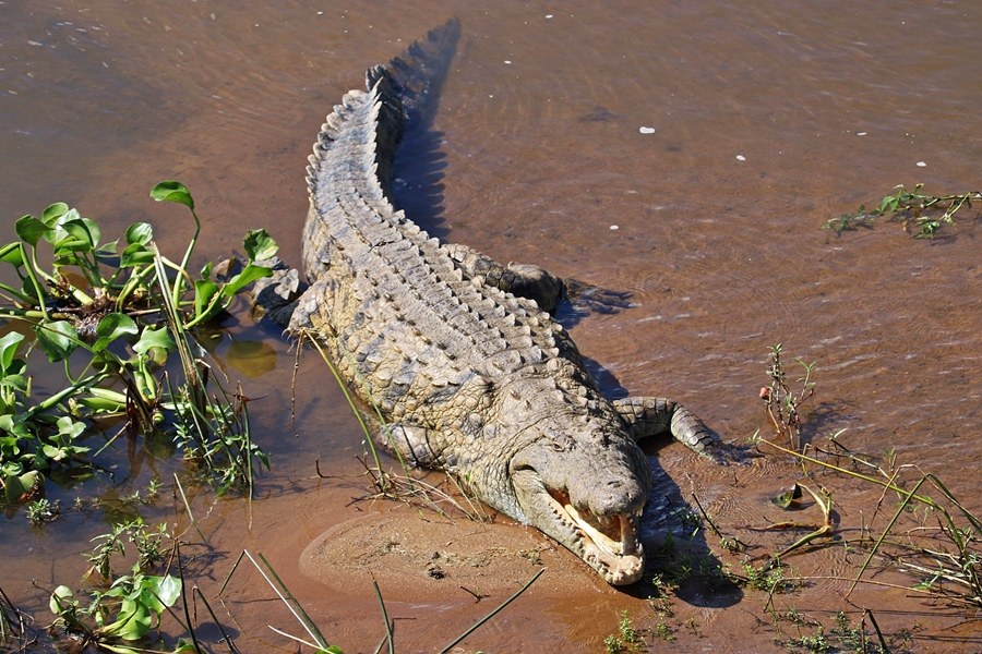 Crocodile in Masai Mara, Kenya | Go2Africa