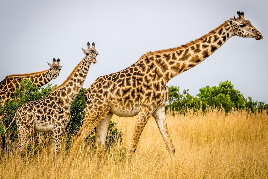 Giraffe in the Masai Mara, Kenya | Go2Africa