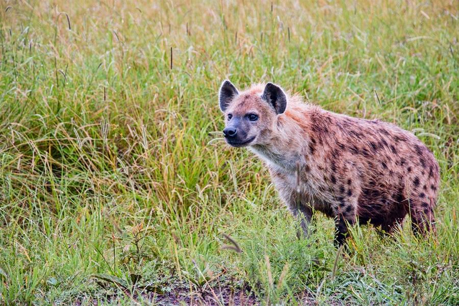 Hyena in the Masai Mara, Kenya | Go2Africa