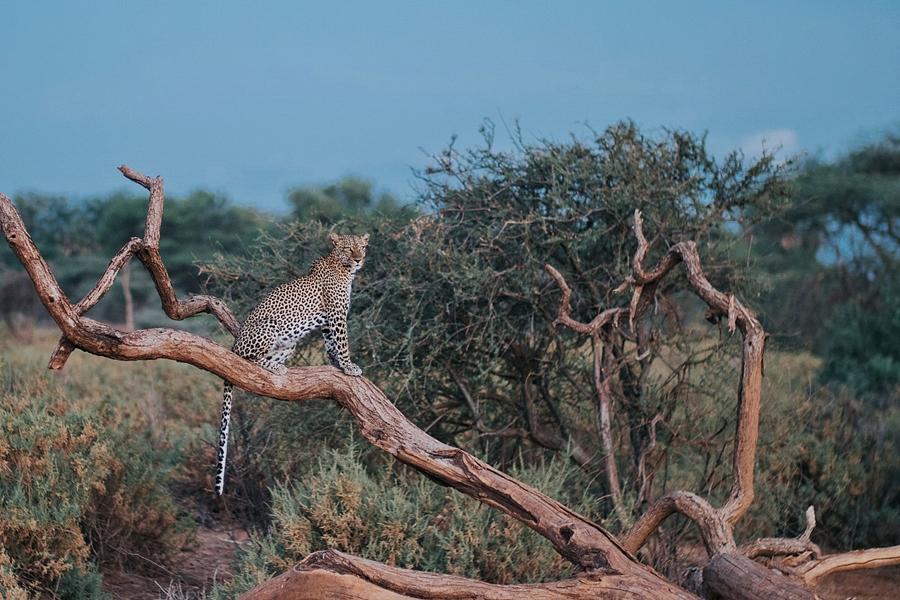 Leopard in Samburu National Reserve, Kenya | Go2Africa