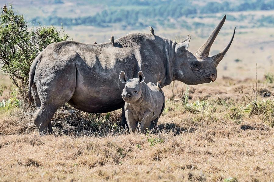 Black rhino in Laikipia, Kenya | Go2Africa