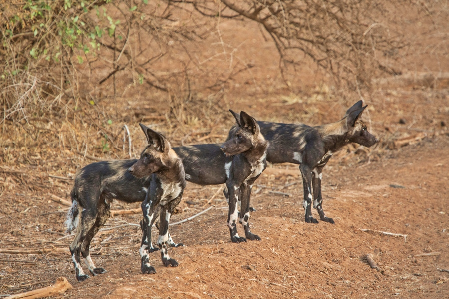 Wild dogs in Samburu National Reserve, Kenya | Go2Africa