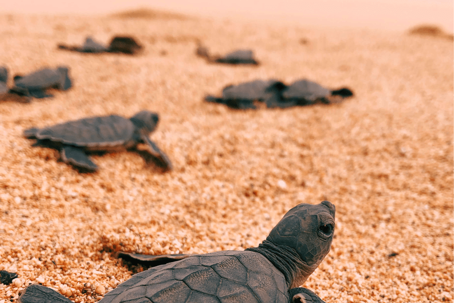 Turtle hatching, Sundy Praia, Principe | Go2Africa