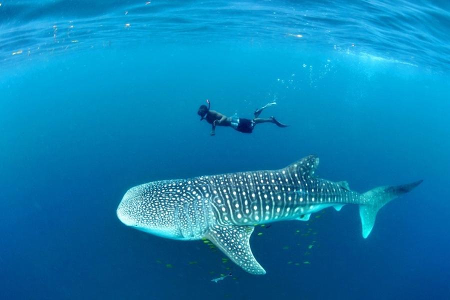 Swimming with whale sharks at Mafia Island, Tanzania | Go2Africa